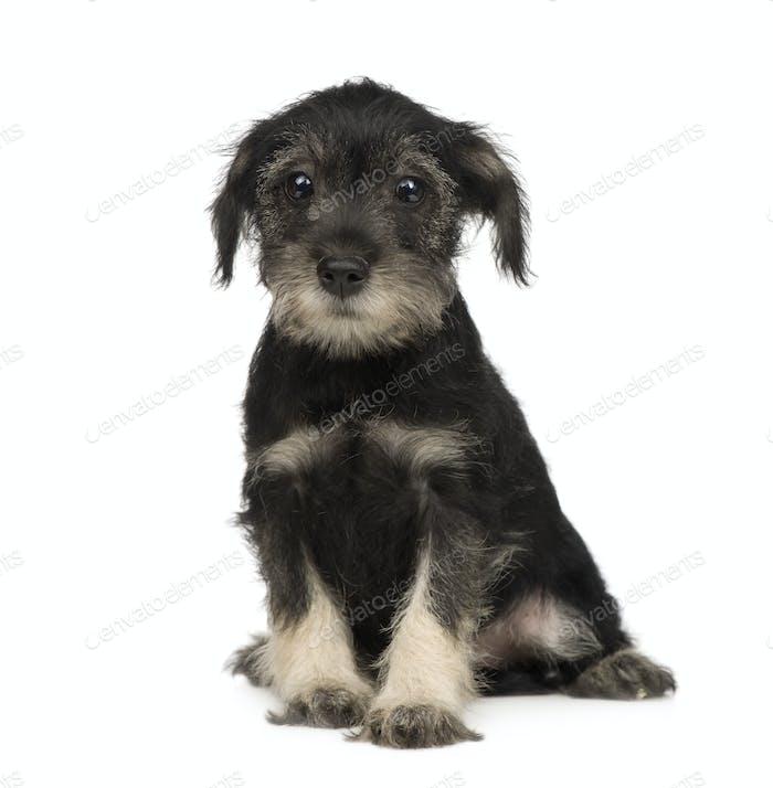 Standard Schnauzer puppy (10 weeks)