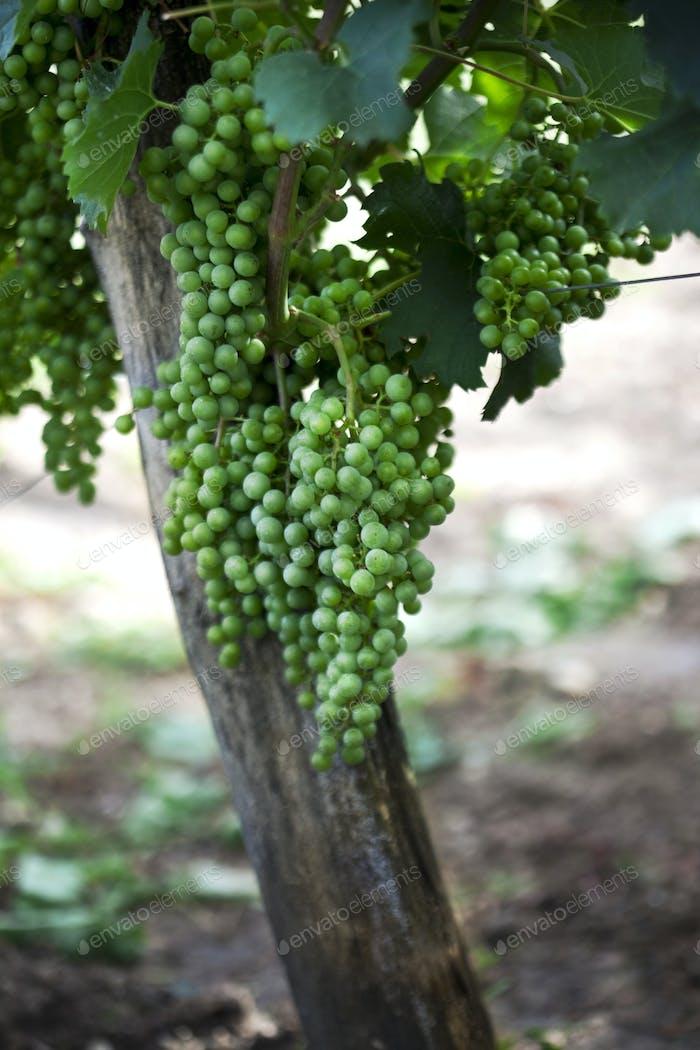 Close up of green grapes
