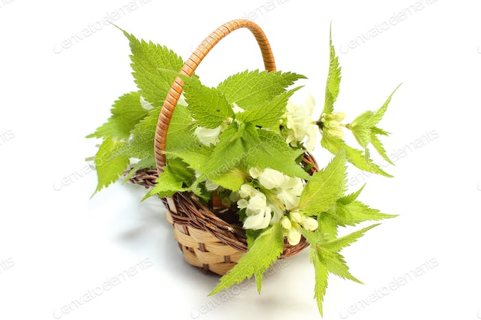 Fresh stinging nettles in wicker basket