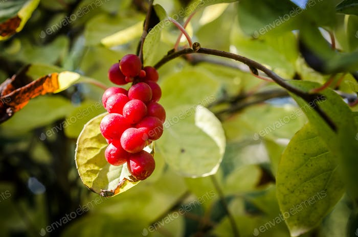Chinese magnolia vine berries