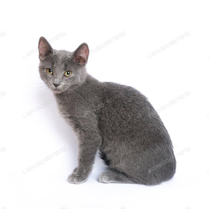 Gray kitten on white background