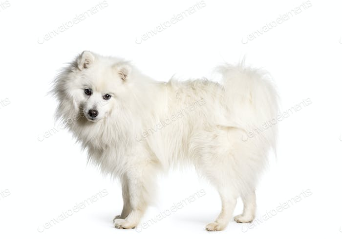 Japanese Spitz dog standing, cut out