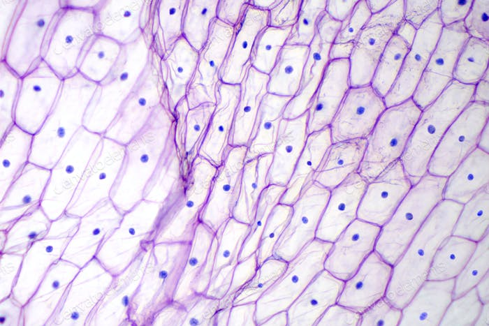 Onion epidermis with large cells under microscope