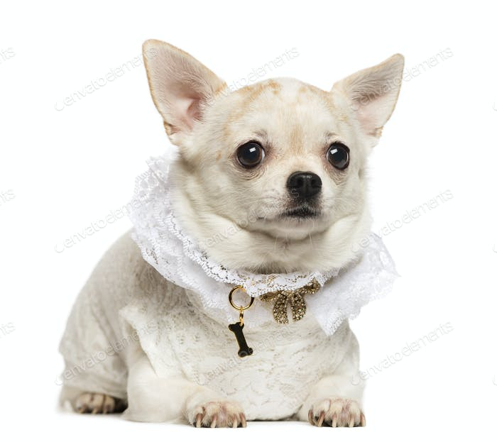 Chihuahua lying, wearing a lace shirt and fancy dog collar, isolated on white