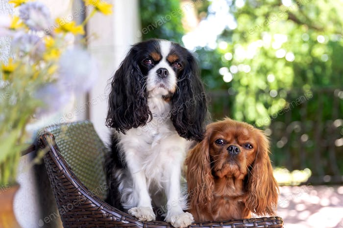 Two dogs sitting together on the chair