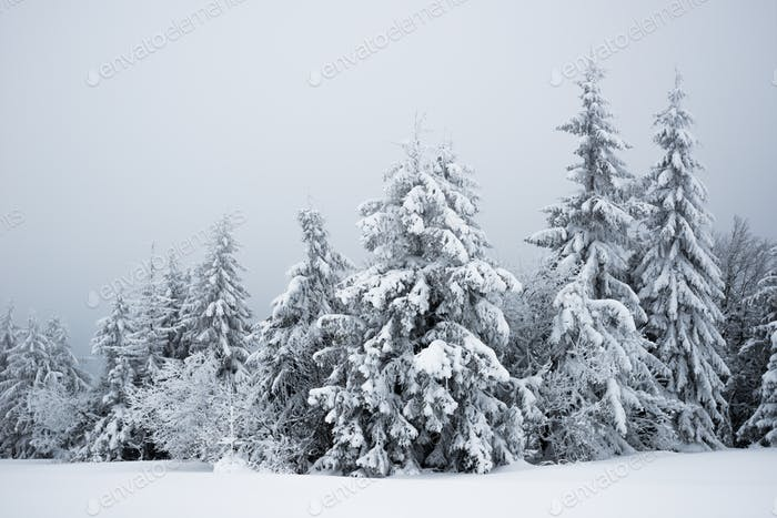 Harsh winter landscape beautiful snowy fir trees