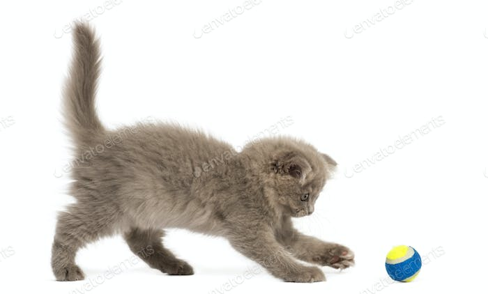 Side view of an Highland fold kitten playing with a ball, isolated on white