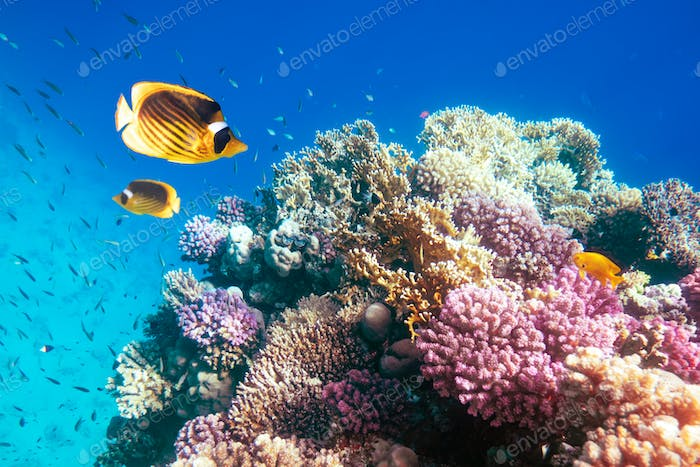 Two yellow butterfly fish on a coral reef