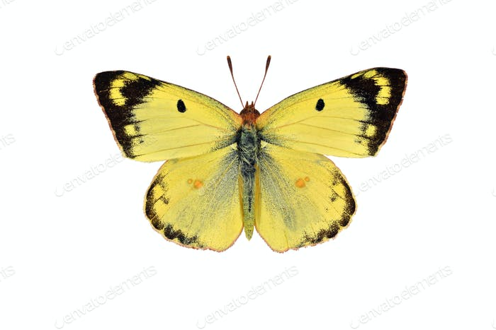 Pale clouded yellow butterfly, isolated on white background