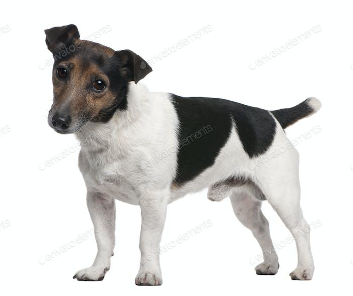 Jack Russell Terrier, 8 Jahre alt, steht vor weißem Hintergrund