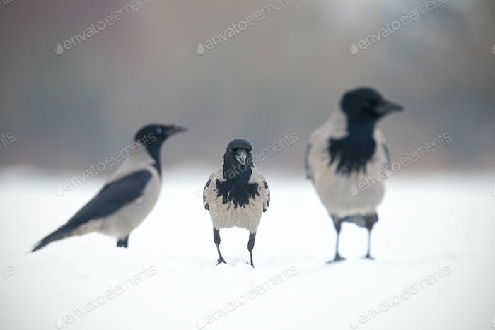 Three hooded crows, corvus cornix, sitting on a snow