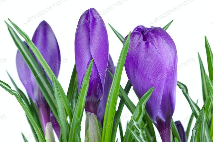 Violet crocus buds