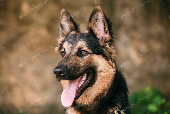Portrait Of Medium Size Long-Haired Mongrel Black And Red Dog Wi