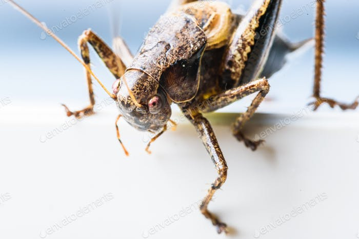 Large brown grasshopper locust closeup on a white background