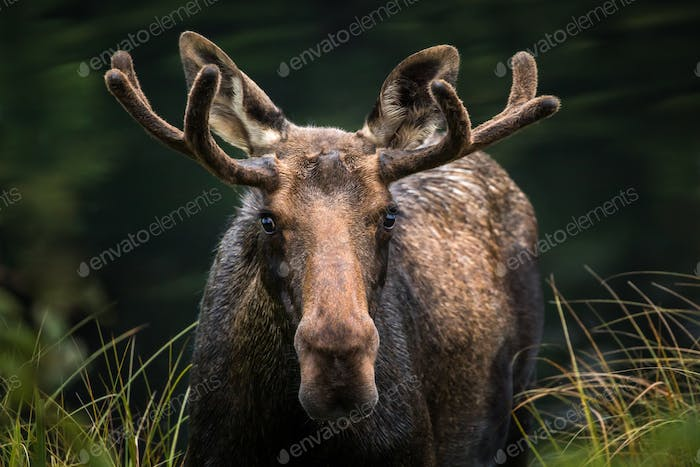Moose - Alces alces - Closeup portrait of a male bull emerging from a marsh.