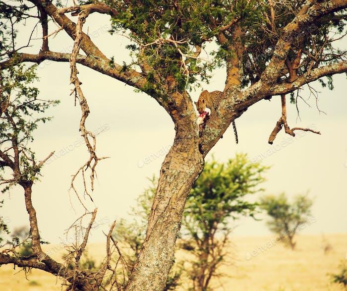 Леопард ест свою жертву на дереве в Танзании