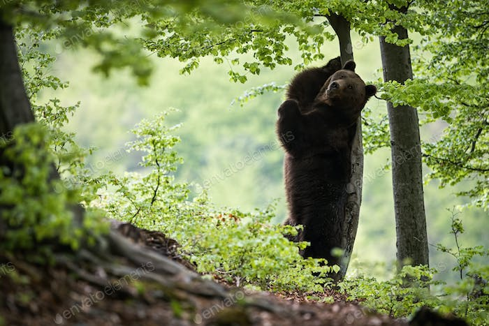 Wild brown bear standing on rear legs and scratching its back on a tree