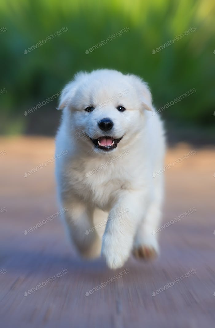 White Puppy of Mix breed in one and a half months old