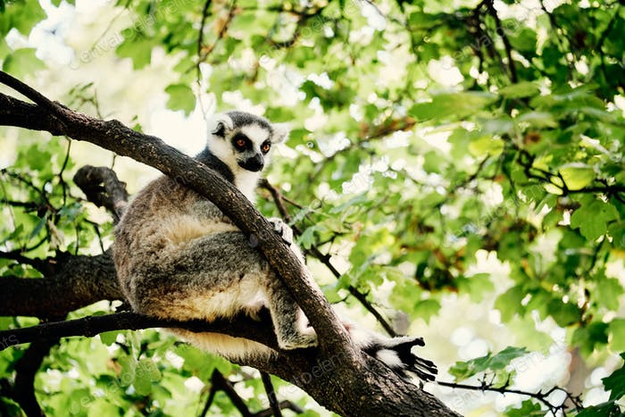 Lemur on tree