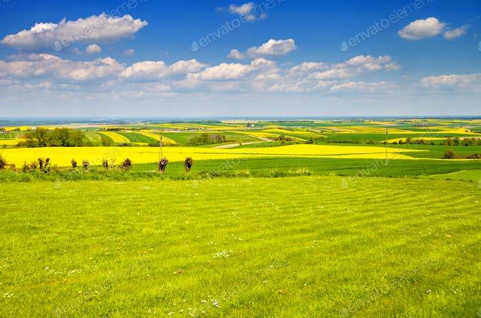 Yellow and green agriculture rapeseed field landscape canola or colza