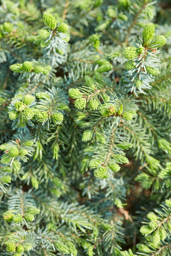 Picea abies nidiformis, Norway spurce background with buds