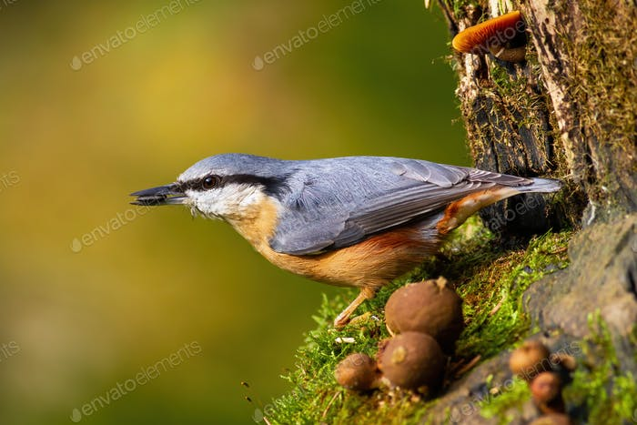 Eurasian nuthatch holding a sunflower seed in a beak in garden during spring season
