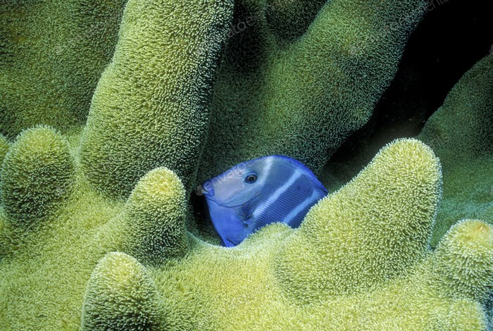 Close-up of Blue Tang at night.,Close-up of Blue Tang at night.