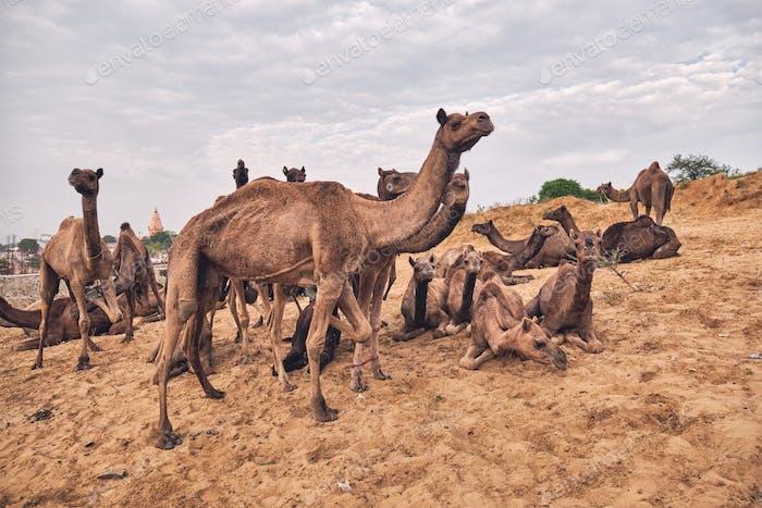 Camels at Pushkar Mela Pushkar Camel Fair , India