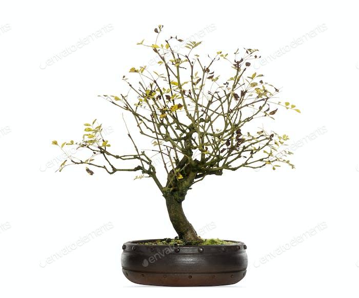 Fraxinus bonsai tree, isolated on white