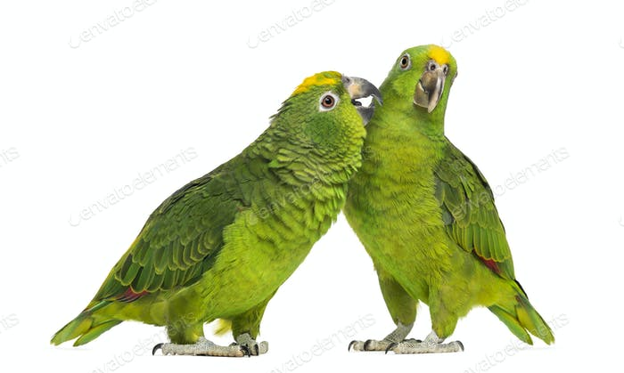 Panama Amazon and Yellow-crowned Amazon pecking, isolated on white
