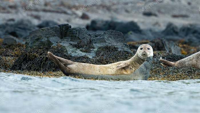 Harbor seal looking on stones next to sea in Iceland