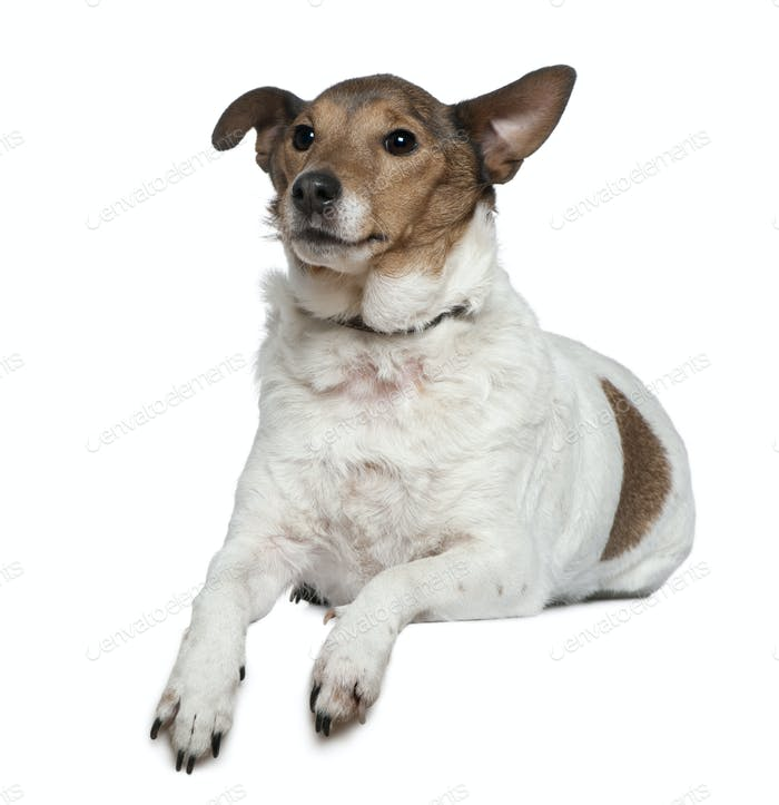 Jack Russell Terrier, 9 years old, lying in front of white background