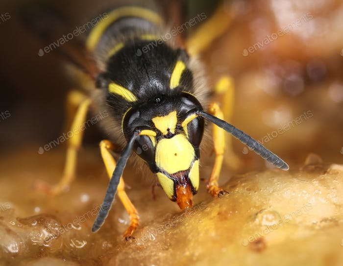 Wasp feeding sweet macro close-up