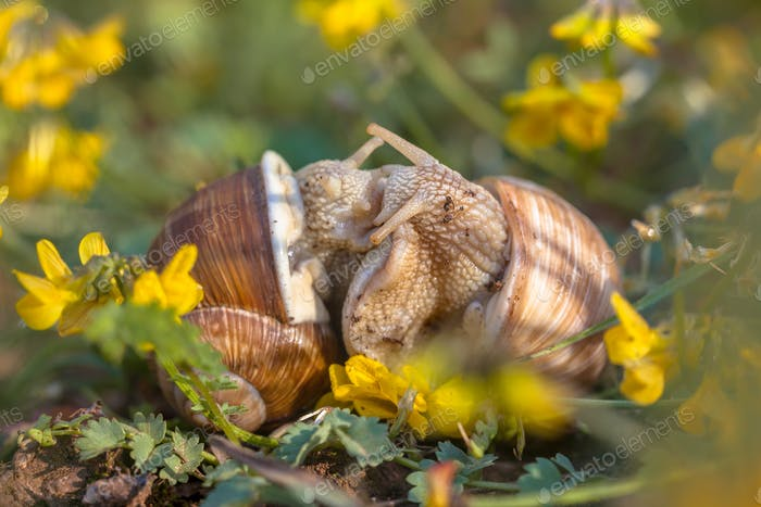 Mating Burgundy snails