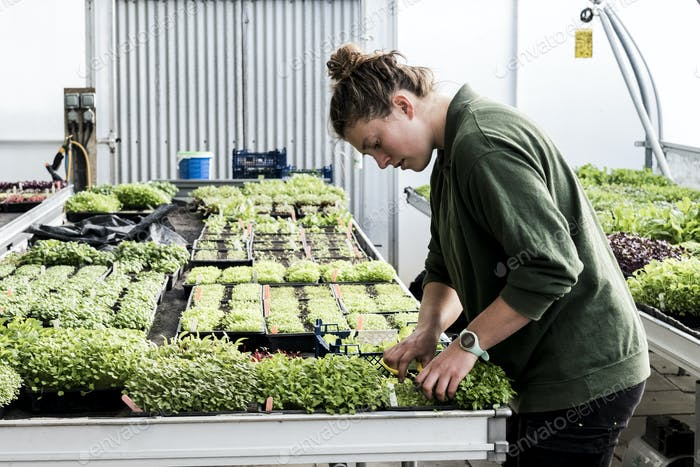 Female gardener standing in a greenhouse, cutting young vegetable plants with pair of scissors.
