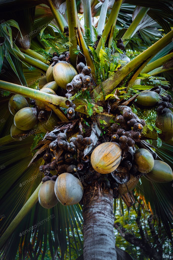 Famous Coco de Mer coconut palm tree in the botanical garden of Mahe, Seychelles