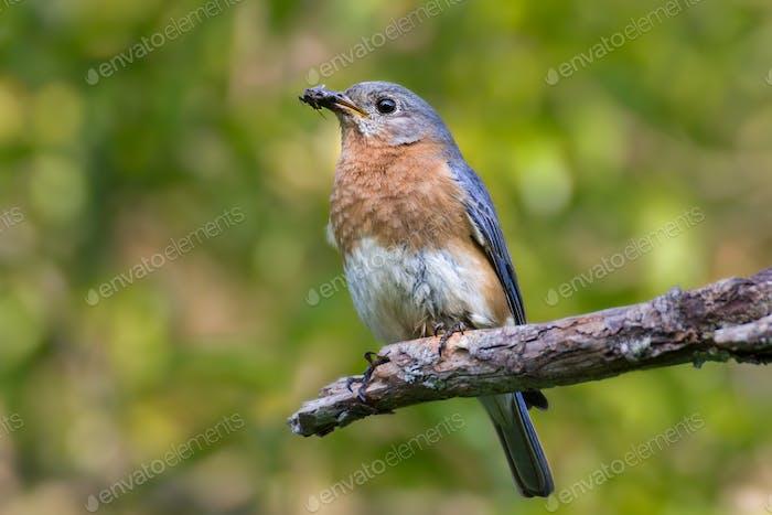 Bluebird mit Insekt