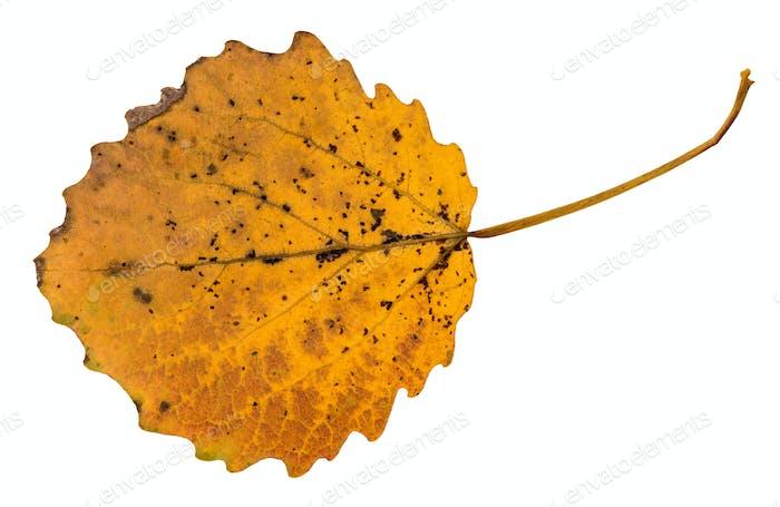 back side of pied yellow fallen leaf of aspen tree