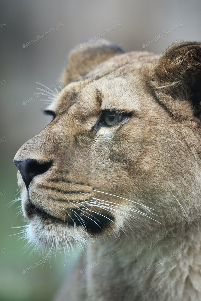 Close-up portrait of a majestic lioness (Panthera Leo) in nature