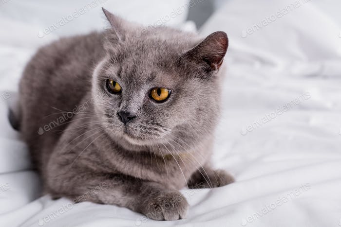 close up view of grey britain shorthair cat resting on bed