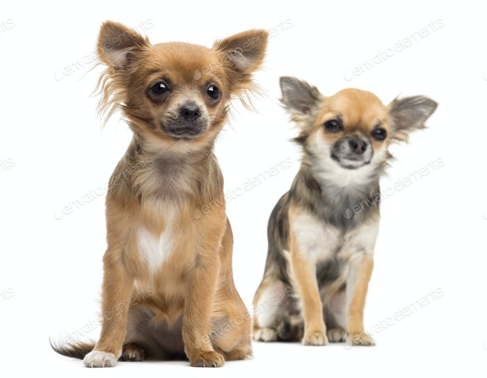 Two Chihuahuas sitting looking away against white background