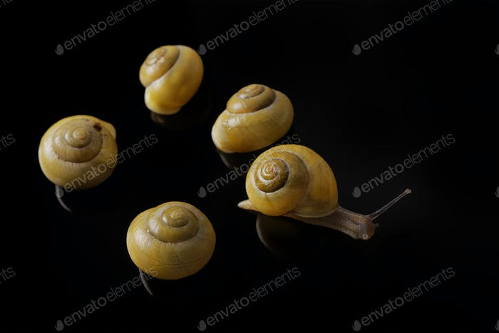 Yellow snails posing on black background