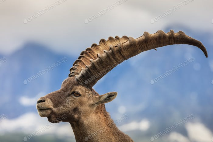 Alpine ibex (Capra ibex) in Mont Blanc, France