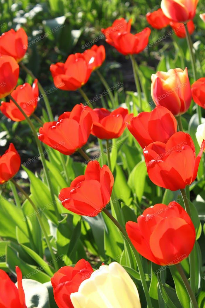 Schöne helle Tulpen