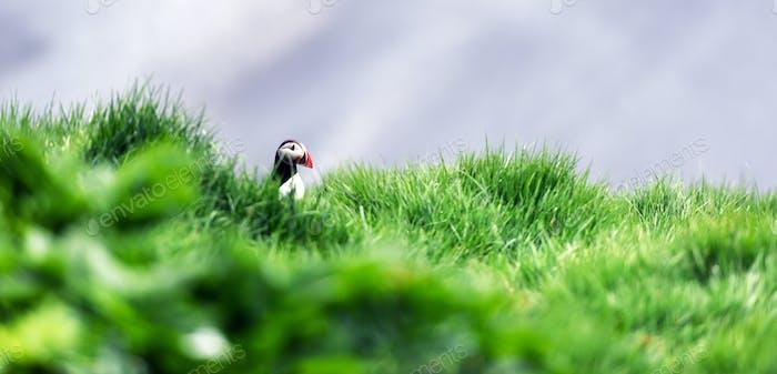 Puffin in grass