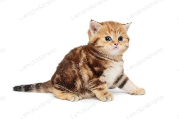 Red, little British kitten