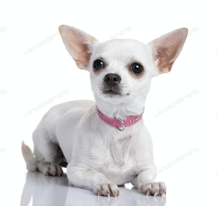 chihuahua puppy wearing a pink collar (6 months old)