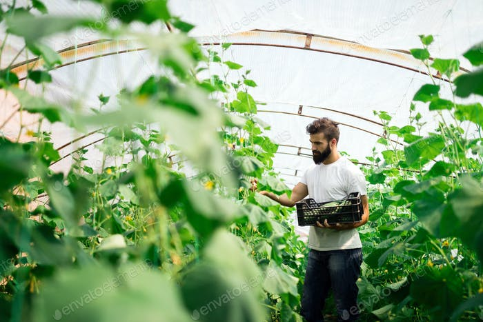 Farmer checking cucumber in a greenhouse