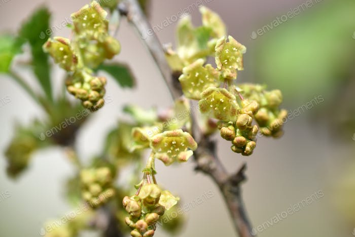 Flowers of red currant, Ribes rubrum, selective focus