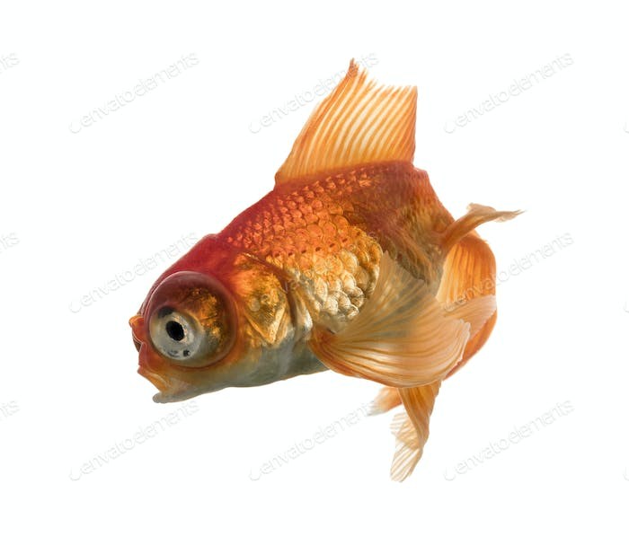 Side view of a Goldfish in water, islolated on white